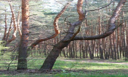 Zdjęcie POLSKA / mazowsze / wies Młynarze / krzywe drzewa