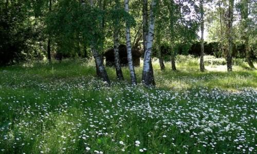 POLSKA / opolskie / Smolarnia / Kwiecista łąka leśna