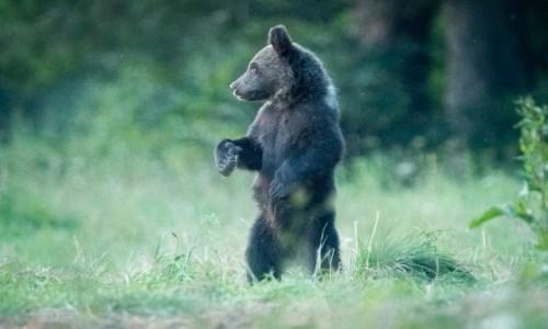 Zdjecie POLSKA / Bieszczady / Bieszczady / Niedźwiadek na czatach