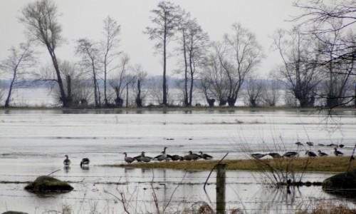 Zdjęcie POLSKA / Podlasie /    / Dzikie gęsi nad Biebrzą.