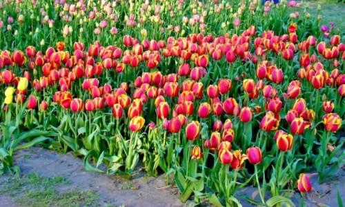 Zdjecie POLSKA / województwo łódzkie / Łódź,Ogród Botaniczny / Na Dzień Kobiet dużo kwiatków