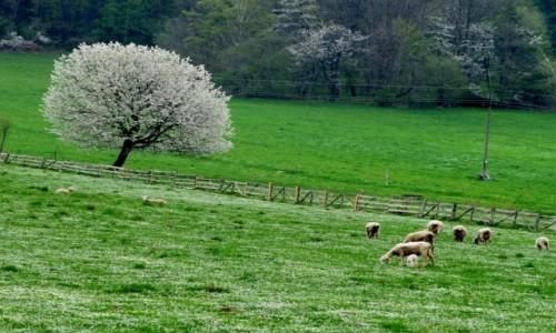 POLSKA / Bieszczady / gdzieś w Bieszczadach / Bieszczadzkie owieczki