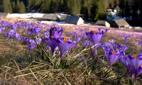 Zdjęcie POLSKA / Tatry Zachodnie / Dolina Chochołowska / Inwazja fioletu