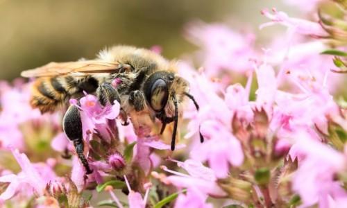 Zdjęcie POLSKA / Bory Tucholskie / Klonowo / Pszczoła miodna