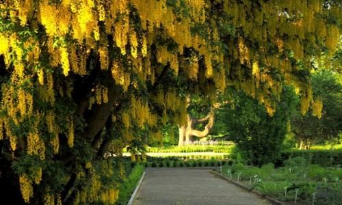 POLSKA / Wielkopolska / Poznań - ogród botaniczny / złoty deszcz...
