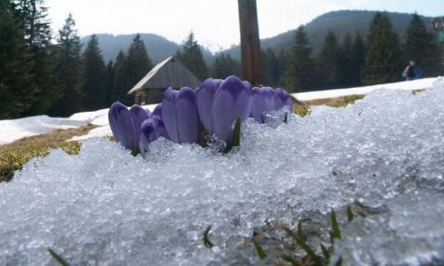 Zdjęcie POLSKA / Tatry / Na szlaku / Krokusy w śniegu