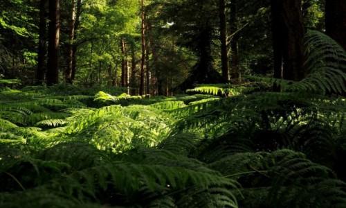 Zdjecie POLSKA / Zachodniopomorskie / Mrzeżyno, Nadmorski Bór Bażynowy / fougère - świeży zapach lasu...