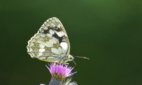 Zdjęcie POLSKA / dolnośląskie / Szklarska Poręba / - czas motyli -