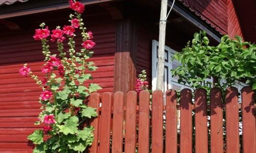 Zdjęcie POLSKA / Podlasie / Soce / Malwy