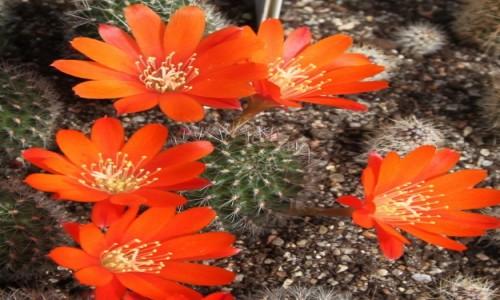 POLSKA / Rumia / Hodowla kaktusów i innych sukulentów / Kwiaty na szpilkach