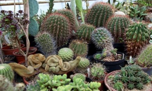 POLSKA / Pomorskie / Rumia / Kaktusy i inne sukulenty