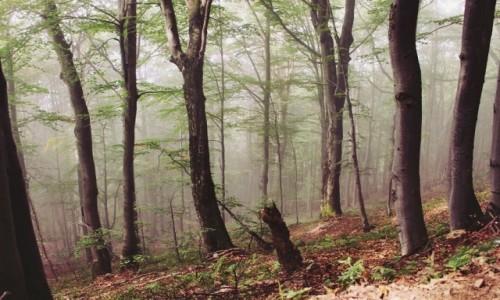 Zdjecie POLSKA / Bieszczady / Połonina Wetlińska / Mgła w lesie albo Las we mgle