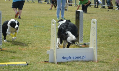 Zdjęcie POLSKA / Tczew / plac nad Wisłą / FLyball - zawody psiaków