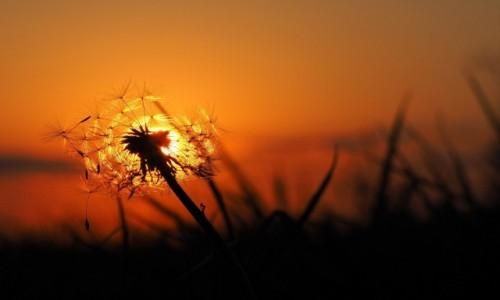 Zdjęcie POLSKA / Mazowieckie / oklice Otwocka / Dmuchawiec ze słońcem w tle