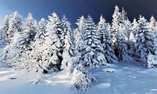 Zdjecie POLSKA / Karkonosze / Karpacz / Biały las
