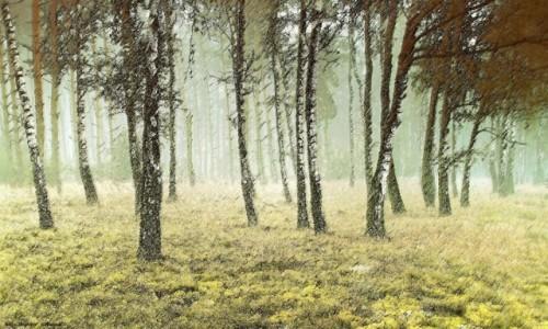 Zdjecie POLSKA /  pow-żniński  / Puszcza Notecka / Brzozy we mgle