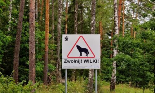 Zdjecie POLSKA / województwo podlaskie / Poczopek / Nie tylko przez wilki warto zwolnić