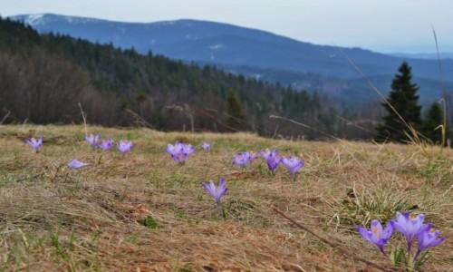 Zdjecie POLSKA / Beskid Żywiecki / Hala Redykalna / Beskidzka wiosna