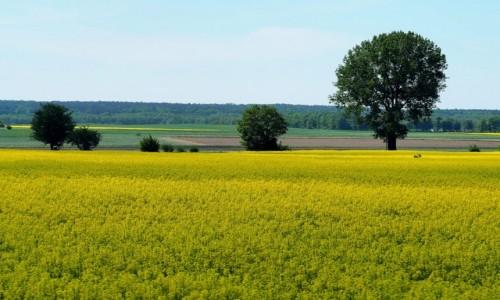 Zdjecie POLSKA / łódzkie / okolice Rogowa / Wiosenne pola