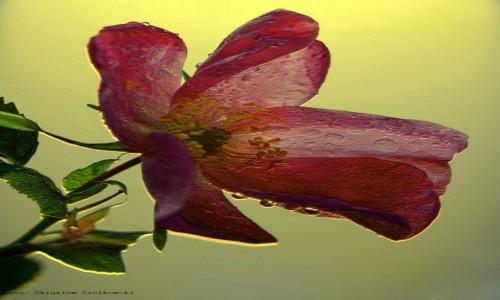 Zdjecie POLSKA / pow-żniński / Dolina Noteci / Cieszą oko od maja do czerwca- Rhododendron