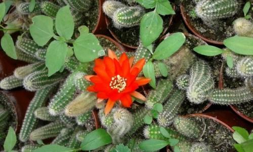 Zdjecie POLSKA / pomorskie / Rumia / Kaktusy w kaktusiarni
