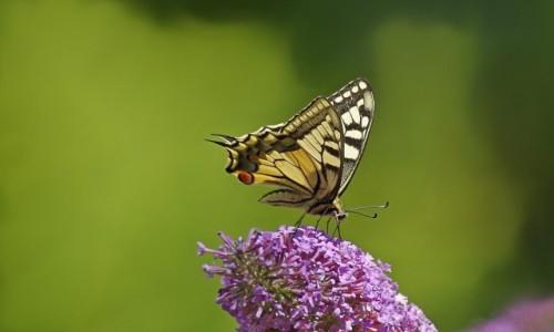 Zdjęcie POLSKA / Dolnośląskie / Szklarska Poręba / - król wśród polskich motyli -