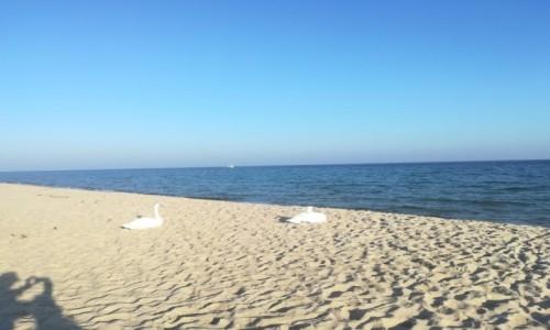 Zdjecie POLSKA / hel / hel / plażing z łabądkami