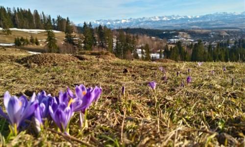 Zdjecie POLSKA / Gorce / gdzieś na niebieskim szlaku / ot... Krokusy ... czuć wiosnę
