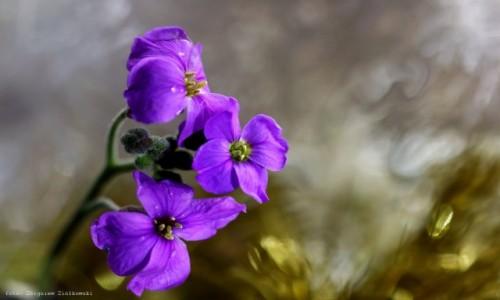 Zdjecie POLSKA / pow-żniński / Nadnoteckie łęgi / (Cerastium tomentosum L.)