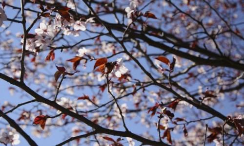 Zdjęcie POLSKA / mazowieckie / Powsin / sakura