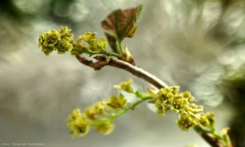 POLSKA / pow-żniński / Dolina Noteci / Kwiaty porzeczki