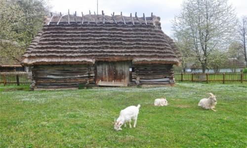 Zdjecie POLSKA / podkarpackie / Sanok / Muzeum Budownictwa Ludowego w Sanoku