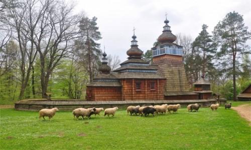 POLSKA / podkarpackie / Sanok / Owce, owce do domu!