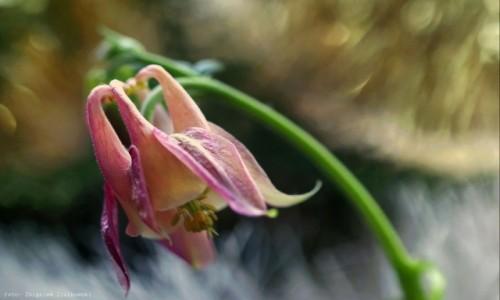 Zdjecie POLSKA / Bory Tucholskie / Bory Tucholskie / Orliki kwiaty z charakterem
