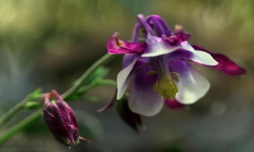 POLSKA / Bory Tucholskie / Bory Tucholskie / Orliki kwiaty z charakterem