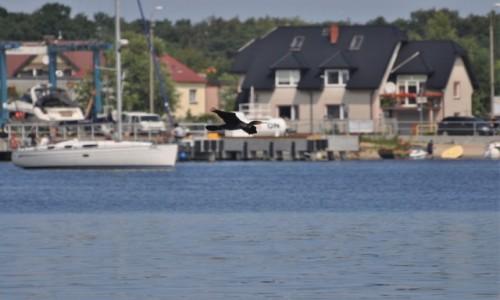 Zdjecie POLSKA / Pomorze / Jastarnia / Jastarnia, port, ptaki, kormoran