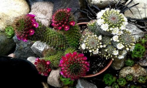 Zdjecie POLSKA / pomorskie / Rumia / Kaktusy z kaktusiarni