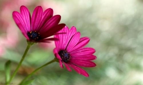 POLSKA / POLSKA / POLSKA / Piękno roślin astrowatych