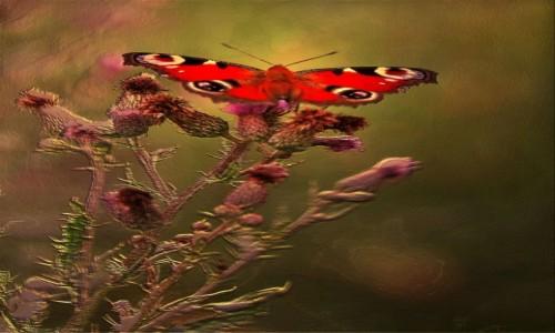 Zdjecie POLSKA / Dolina Noteci / Nadnoteckie łęgi / Kwiaty  wabiące motyle
