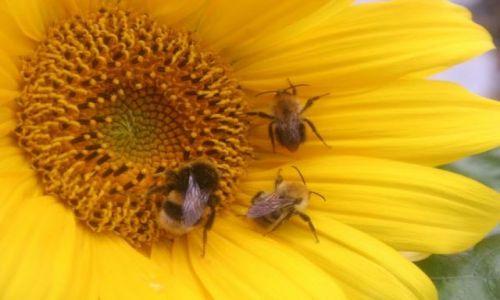 Zdjecie POLSKA / brak / Gniezno / pszczoły