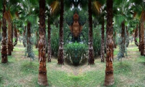 Zdjecie TURCJA / południowa Turcja / Side / Gaj Palmowy