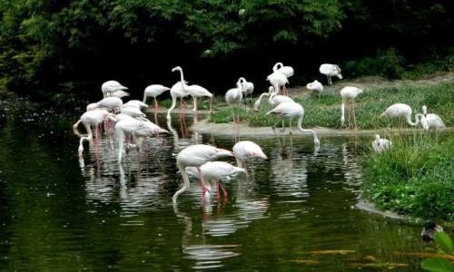 Zdjecie POLSKA / opolskie / Opole / Flamingi różowe