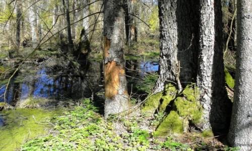 Zdjecie POLSKA / Podlasie / Puszcza Knyszyńska / Wiosna w Puszczy Knyszyńskiej
