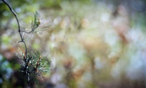 Zdjecie POLSKA / Dolina Noteci / Nadnoteckie łęgi / Pinus sylvestris