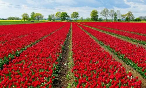 Zdjecie POLSKA / Pomorze / Trzcinisko / Żuławskie tulipany