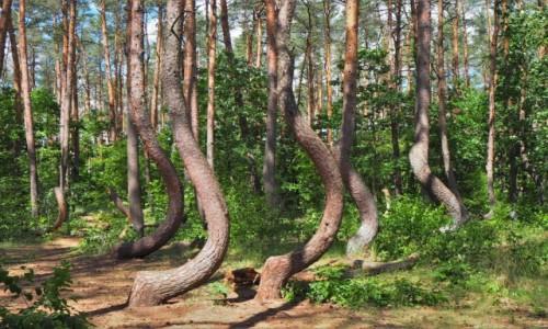 Zdjecie POLSKA / Zachodniopomorskie / Krzywy Las, Nowe Czarnowo / niezwykły las...