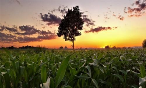 POLSKA / małopolska / dolina karpia / zachód w kukurydzy