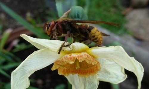 POLSKA / opolskie / Malina / Szerszeń, pogromca pszczół