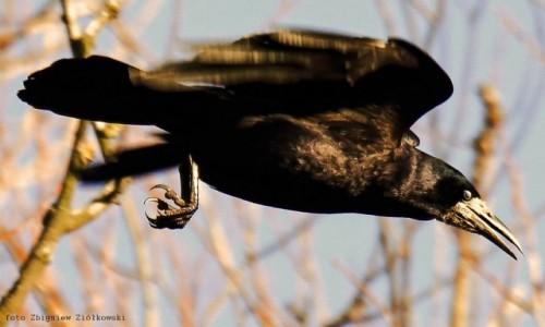 Zdjecie POLSKA / Bory Tucholskie / Dolina Brdy / (Corvus frugilegus)