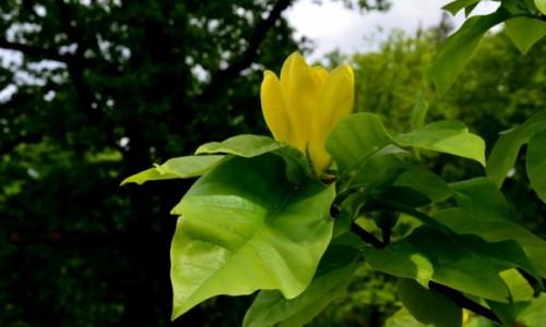 Zdjecie POLSKA / Dolny Śląsk / Wojsławice / Żółta magnolia, japońska
